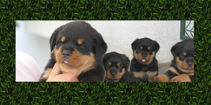 Rottweilers Forsale