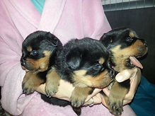 Utz Vom Hause Miles Puppies