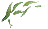 le-tea-leaf-illustration-design-465170.p