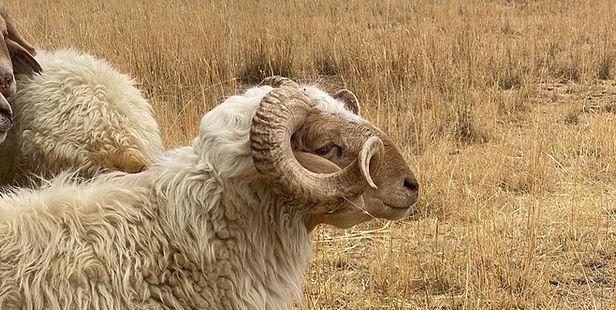 A_Web_Sheep_Ethiopia_edited.jpg