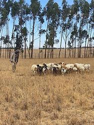 A_Web_shepherd_ethiopia.jpg