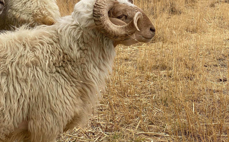 A_Web_Sheep_Ethiopia.jpg