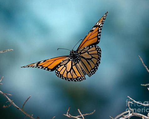 monarch-butterfly-in-flight-stephen-dalt