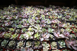 Succulents02