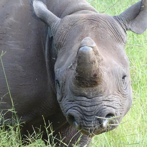 Skye the Baby Black Rhino