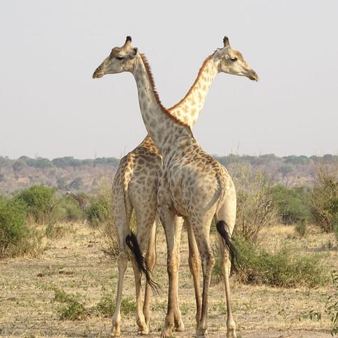 Jaden the Giraffe