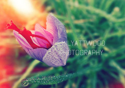 English Saffron flower with stigma