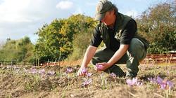 David in the Essex Saffron field
