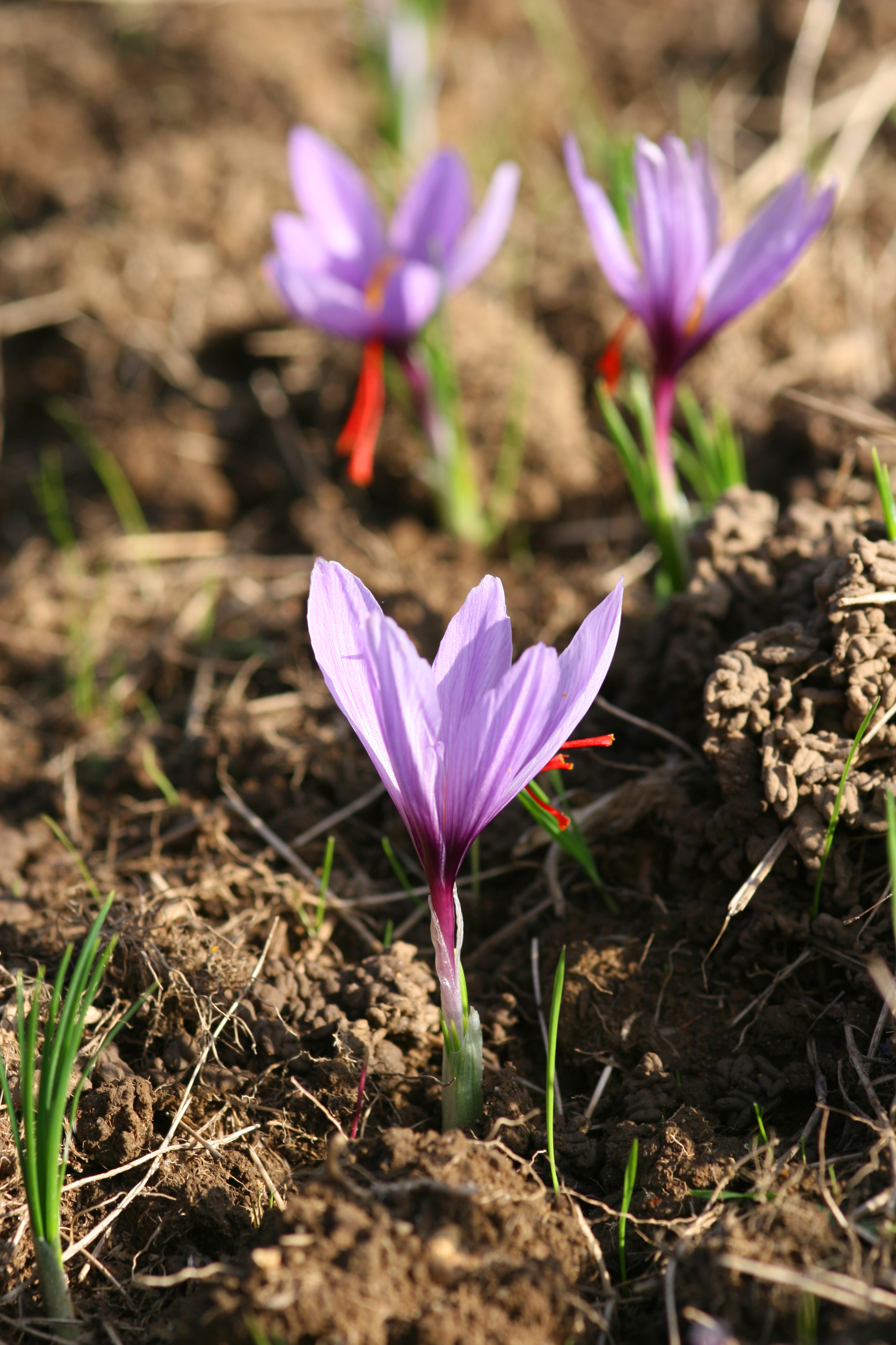 Saffron ready to be harvested