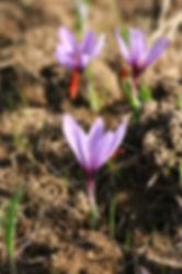 English Saffron Premium luxury saffron grown in Essex and Devon