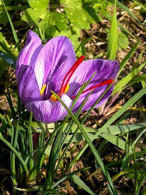 Saffron Flower, October 14 harvest