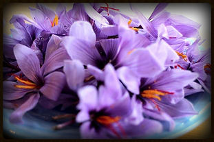 English Saffron Flowers Premium luxury saffron grown in Essex and Devon