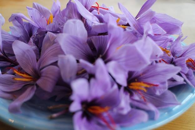 English Saffron Flowers with Stamen