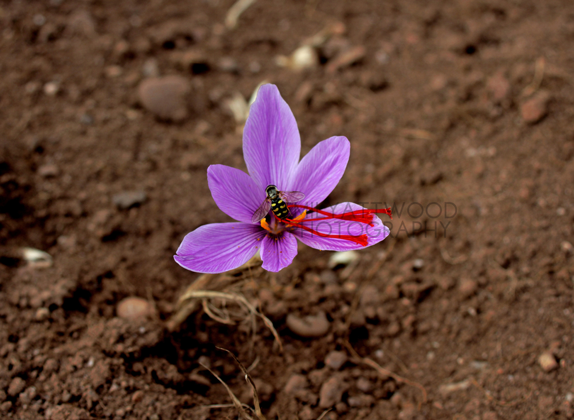 A bee on an English Saffron flower