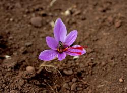 A bee on an English Saffron flower