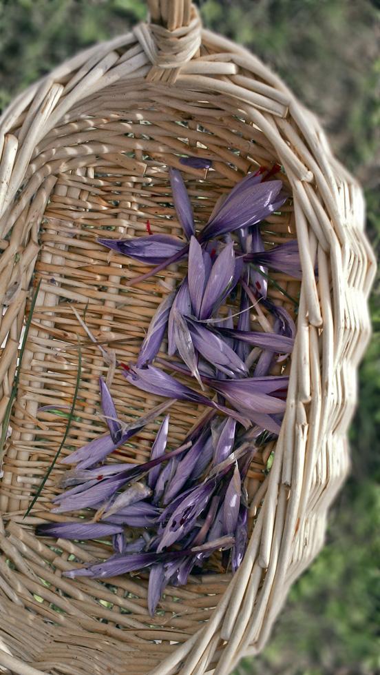 Harvesting English Saffron