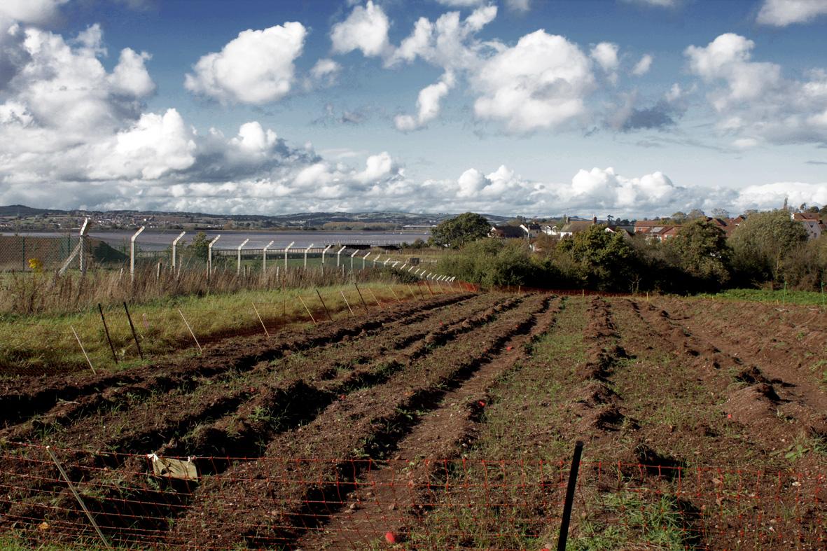 Planting bulbs in our Devon field