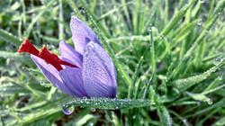 English Saffron flower