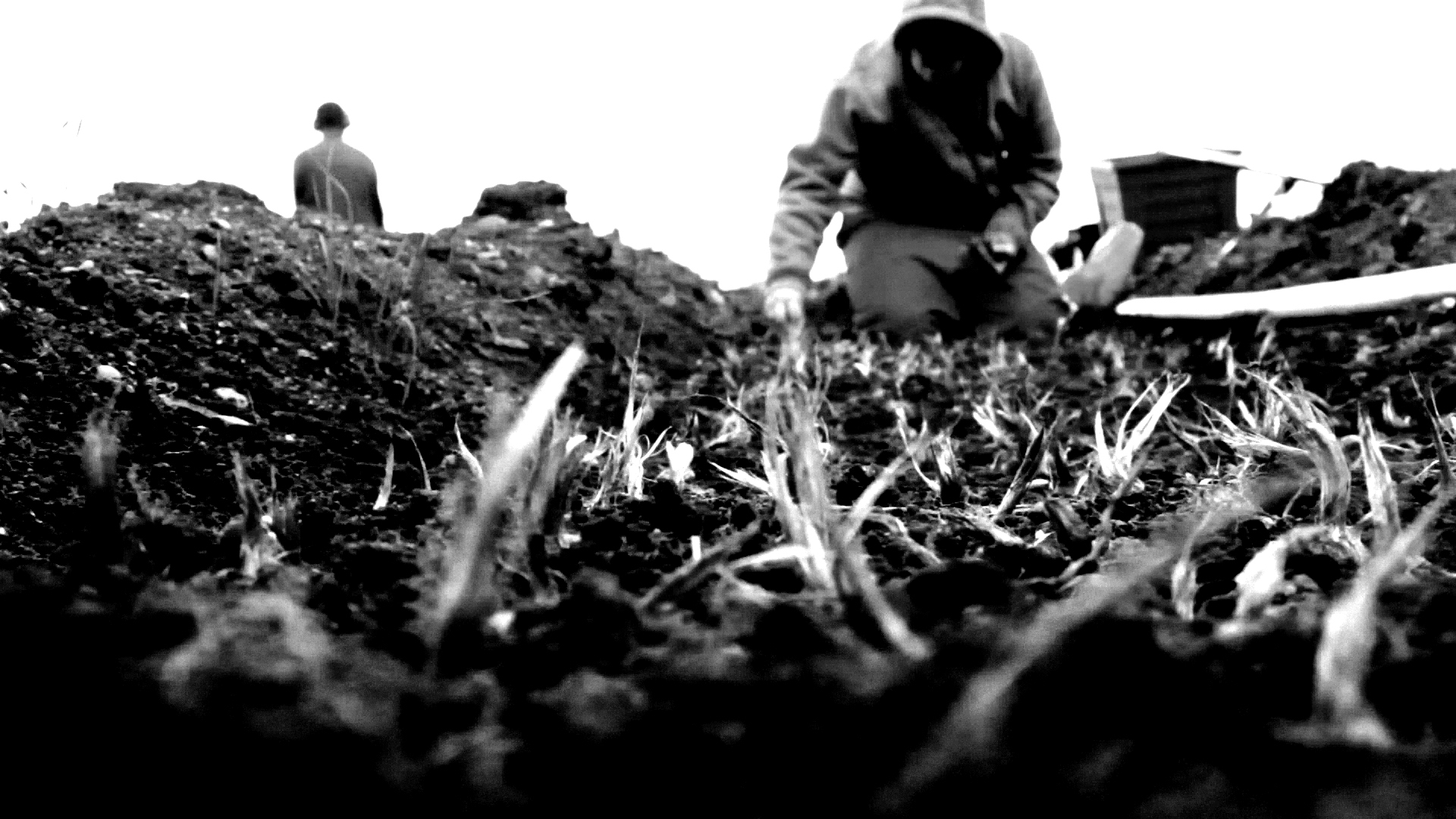 Planting saffron in our Devon field