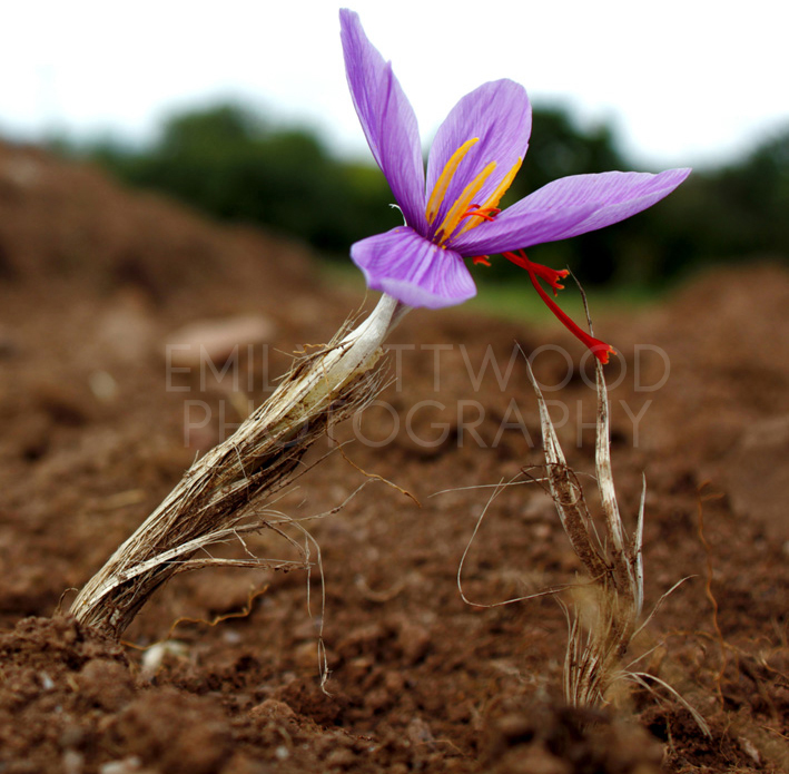 Saffron flower &stigma,  Devon field