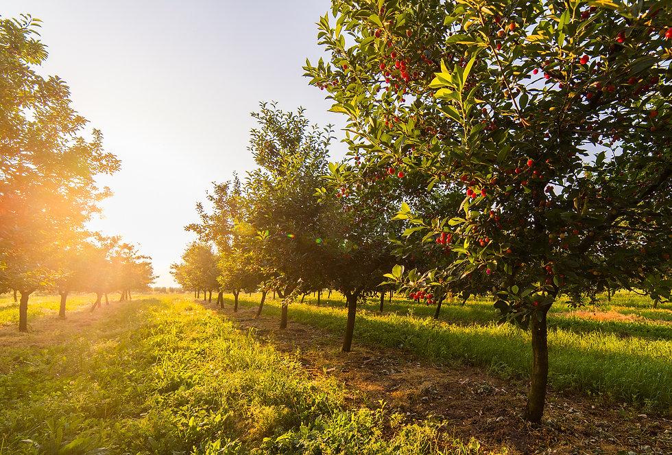 Hart, MI cherry orchard