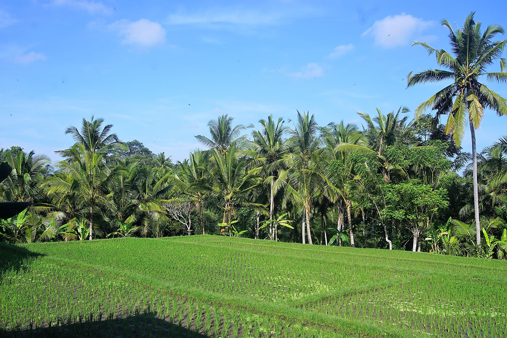 ricefield infront of our Yoga Shala