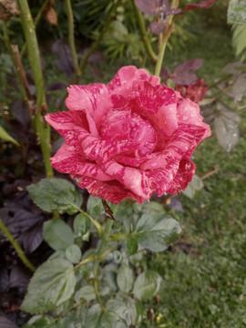 Rose at The Shala Bali