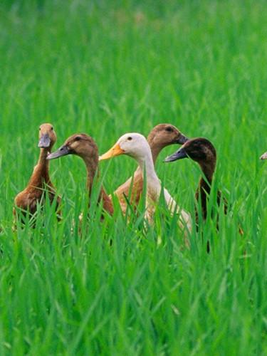 Ducks on Rice Field