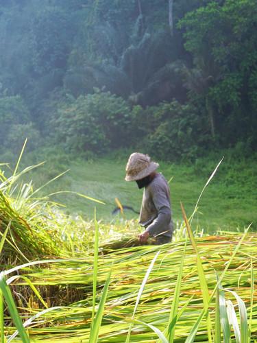 Morning in Rice Field