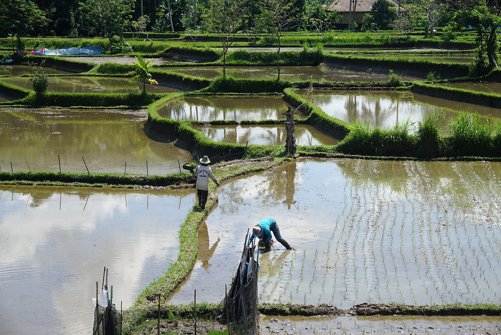 start planting rice