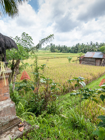 Rice Harvest Bali