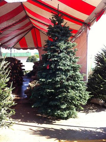 Beautiful Alpine Nobel at our Dallas Christmas Tree Lot