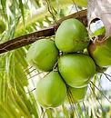 noix coco fraiche