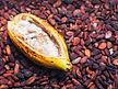 fruit cacao