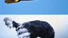 Pour cette reprise : Aigle ou Autruche ?