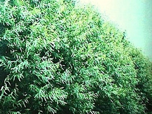 13 Count of Willow Hybrid Bushes