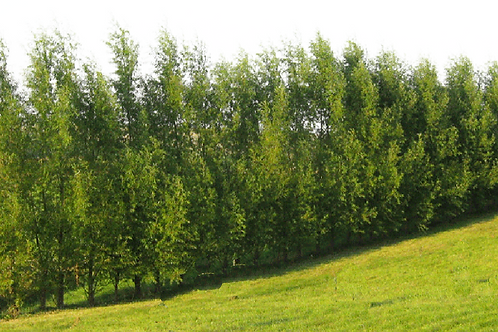 50 Count Order of Hybrid Willows