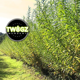Picture of Hybrid willow austree fence