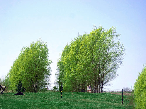 10 Count Order of Hybrid Willows