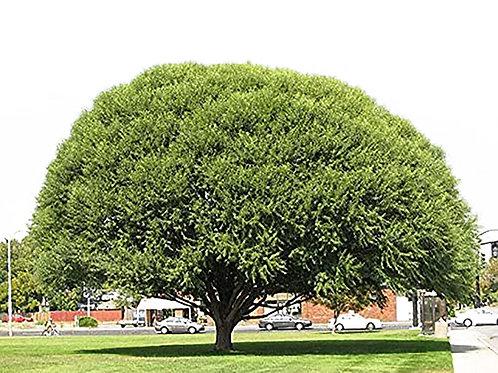 5 Globe Willows