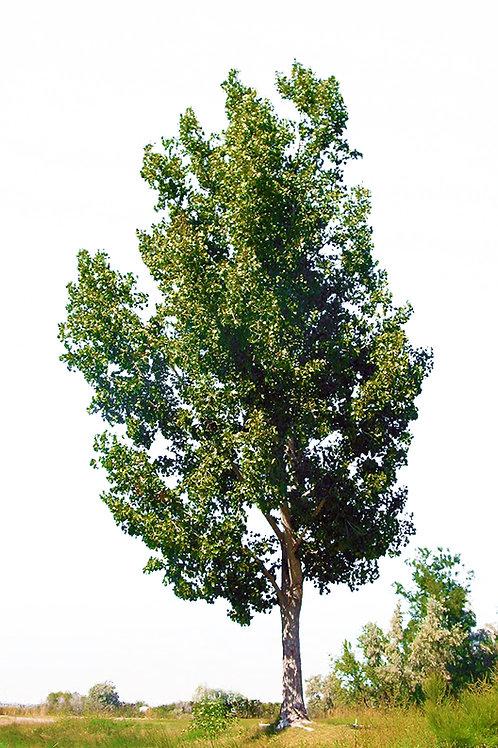 13 Count Order of Hybrid Poplars