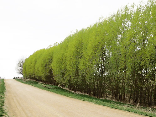 13 Count Order ROOTED of Hybrid Willows