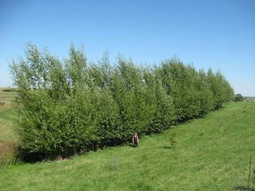 100 Count Order of Hybrid Willows