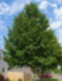 poplar-hybrid-1-400-03.jpg