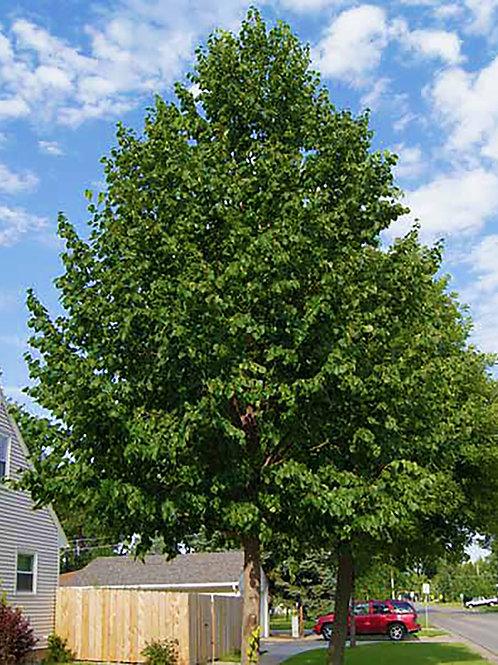 25 Count Order of Hybrid Poplars