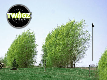 Picture of 75 foot Hybrid Willow Trees mature