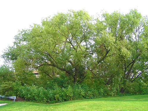 13 Count Order of Hybrid Willows