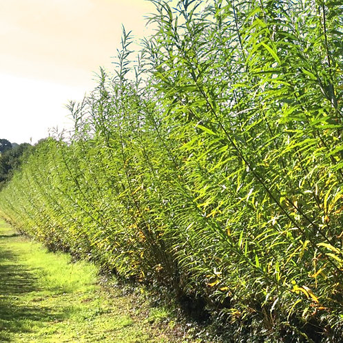 25 Count of Willow Hybrid Bushes
