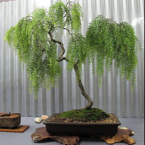 Bonsai Green Dwarf Willow Tree