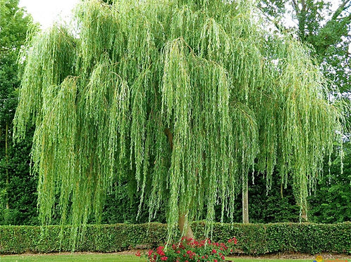 5 Weeping Willows